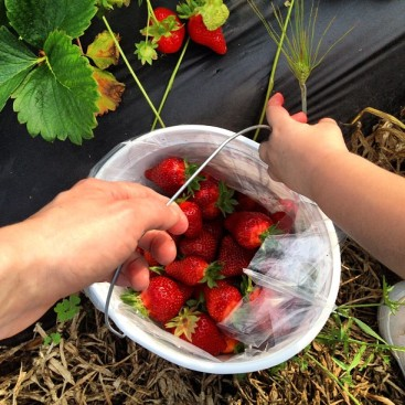 The BEST strawberries - and locally grown!