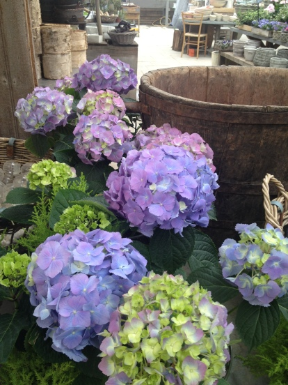 Hydrangea are my hands-down, all-time favorite flower, especially when they are blue and scattered throughout a bike path in Cape Cod