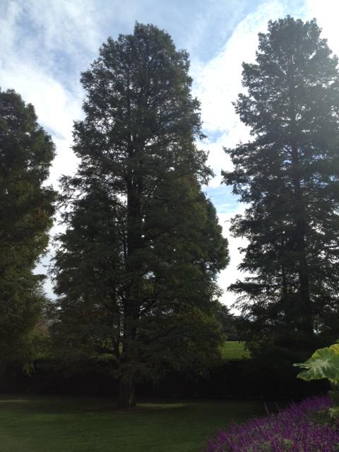 Longwood trees