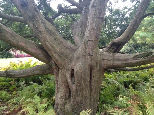 Longwood weird tree